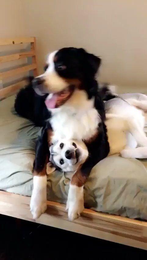Bff S Aww Husky Puppy Dog Sitting Bernese Mountain Dog Funny
