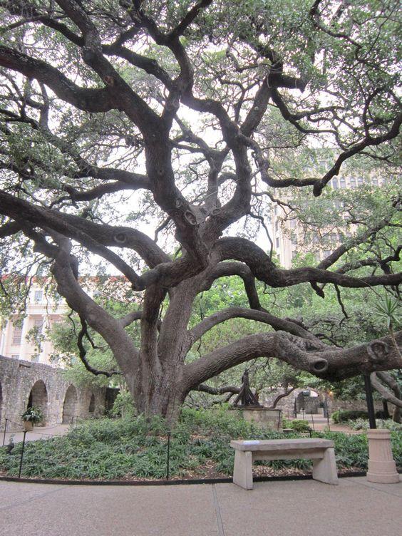live oak tree at the alamo in san antonio texas pinterest trees beautiful and a beautiful. Black Bedroom Furniture Sets. Home Design Ideas
