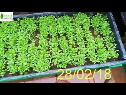 زراعة الكزبرة القزبر في المنزل الجزء 1 Youtube Garden Home Cooking Vegetables