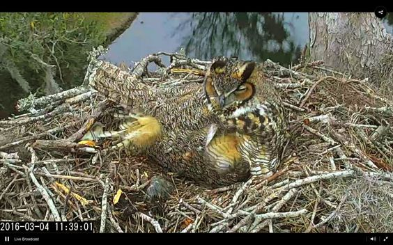 "Savannah Owls: Landings Bird Cam: A damp and breezy Friday afternoon. Mom's having a bit of a ""bad feathers day"" but's keeping owlets toasty and dry"