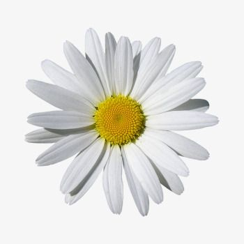Daisies Daisy Clipart Product Kind Daisy Png Transparent Clipart Image And Psd File For Free Download Daisy Daisy Flower Pretty Flowers