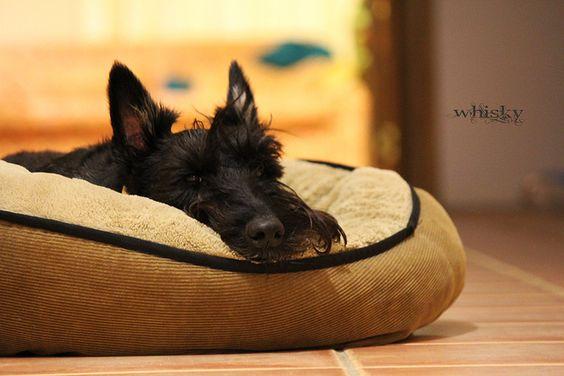 Sleepy Scottie