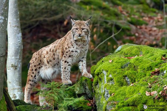 Lynx by Natureinframe  on 500px
