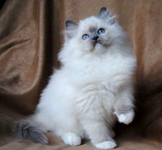 Ragdoll Cat Kittens For Sale Picture in Ragdoll Cat