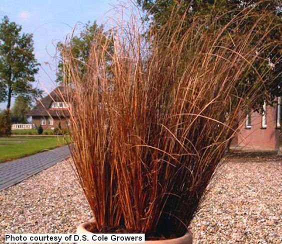 Carex buchananii 39 red rooster 39 unusual plants for Red landscaping grass