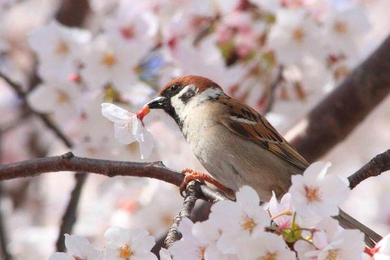 満開の桜の枝で食事中のスズメ。こうして花ごとついばんで、根元にある蜜を吸います(^o^) pic.twitter.com/99Ww6MrhqN