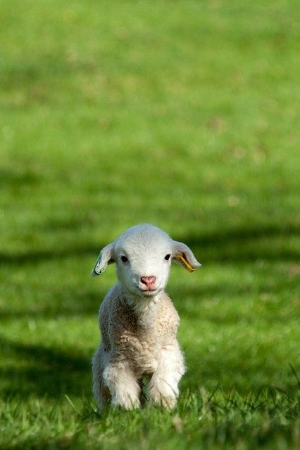 little lamb in the grass.