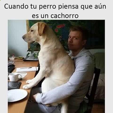 Imagenes De Humor Memes Chistes Chistesmalos Imagenesgraciosas Humor Www Megamemeces C Http Www Diverint Com Perros Memes Divertidos Perro Labrador