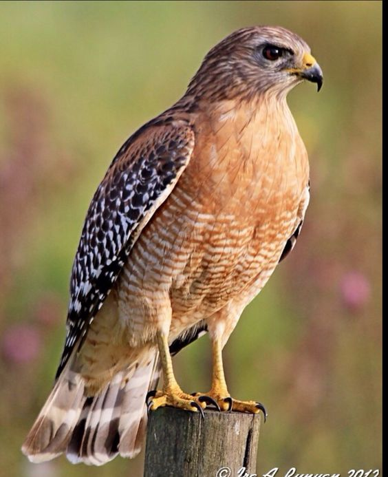"""Red Shouldered Hawk.  Today, 9-14-15, we had one visit our yard. He sat on the fence for quite sometime. All of our little feathered """"regulars"""" were nowhere in sight but you could hear them everywhere, calling each other with their distress calls. The hawk was beautiful. We were thankful that he didn't catch any of our sweet little yard friends.❤️"""