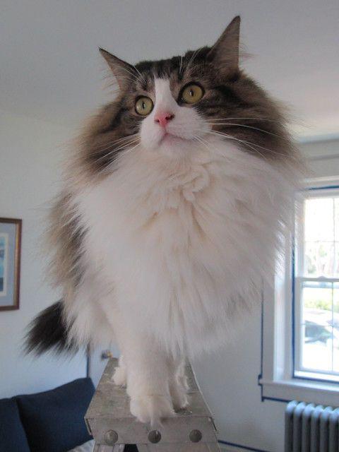 A fabulous Norwegian Forest Cat