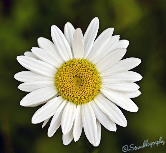 Shasta daisy in my parents garden
