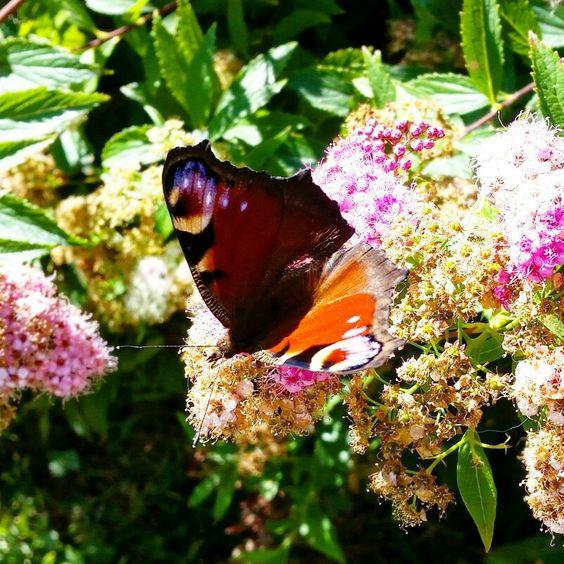 Butterfly in Stockholm. #butterfly #fjäril #naturensunde