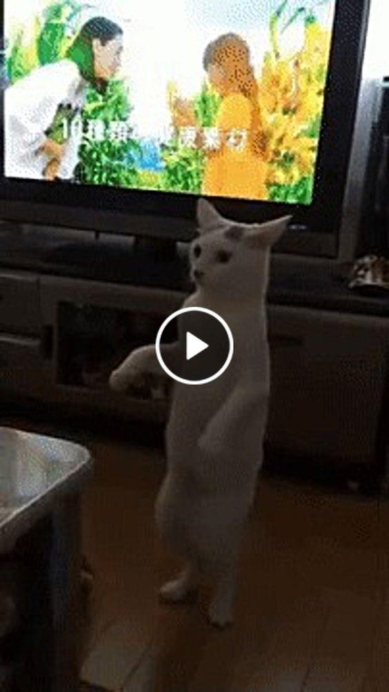 Gato andando como gente