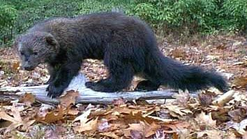 FISHER CATS - Found in the U.S. & Canada, like gigantic weasels. They take down chickens, cats, dogs...