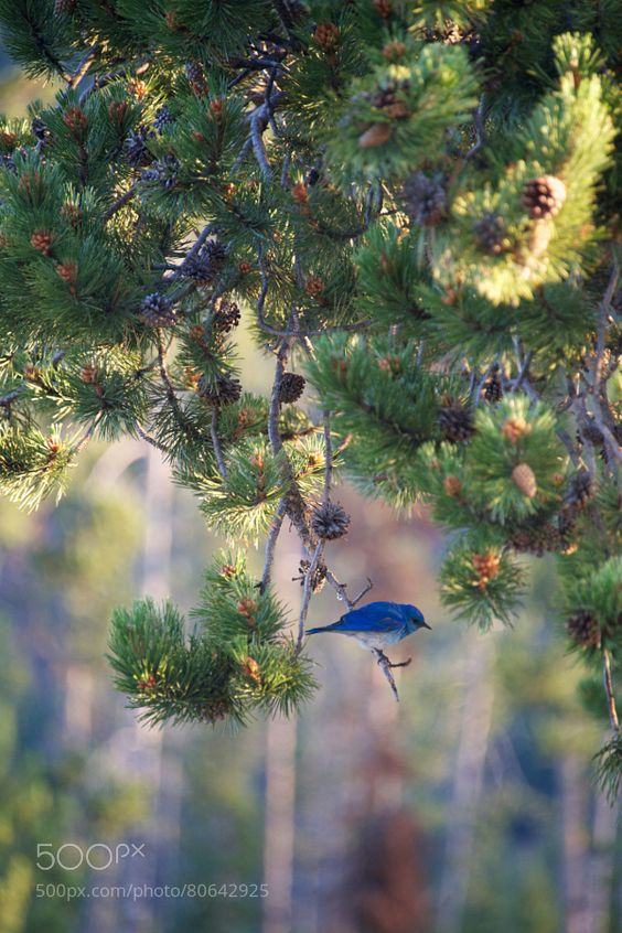 Bluebird on a pine branch by nicholasdale