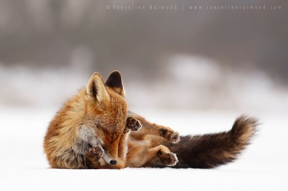 Comfortably Fox by Roeselien Raimond on 500px
