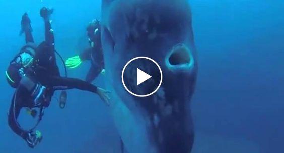 Mergulhador Capta Incrível Imagem Do Maior Peixe Ósseo Em Ilha Açoriana http://www.funco.biz/mergulhador-capta-incrivel-imagem-do-maior-peixe-osseo-em-ilha-acoriana/