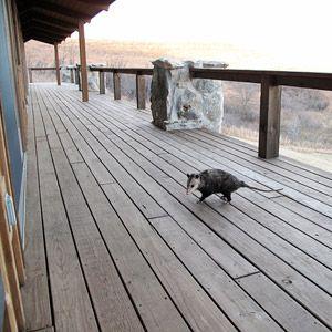 An Opossum on the Deck