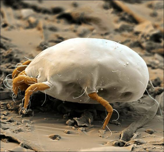 house dust mite: