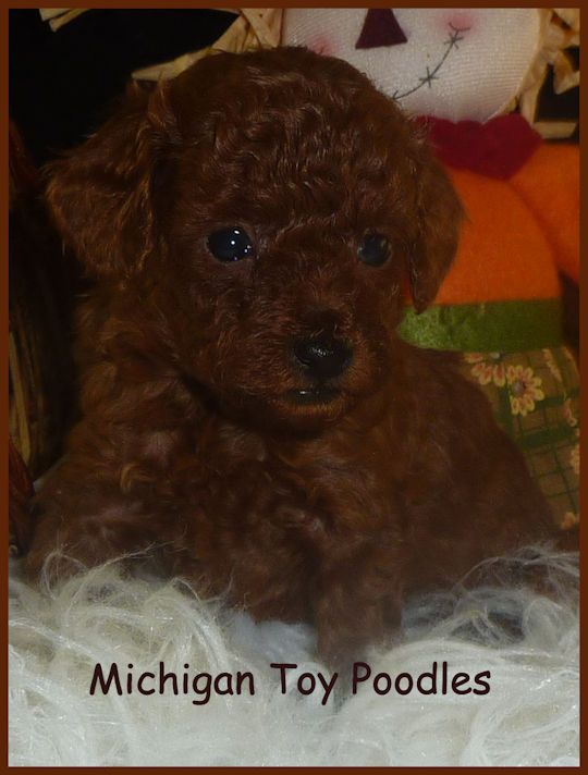 Michigan Toy Poodles Michigan Maltipoo Akc Registered Toy