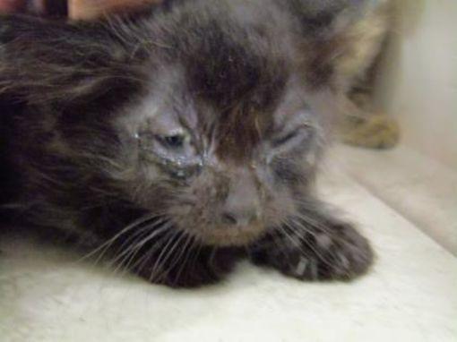 West Memphis Ar Domestic Shorthair Meet Romeo A Cat For Adoption Cat Adoption Munchkin Cat Pets