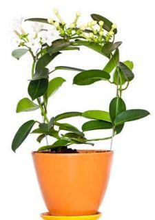 Stephanotis Conseils De Culture Et Entretien Plante Jasmin Plante Verte Planter Des Fleurs