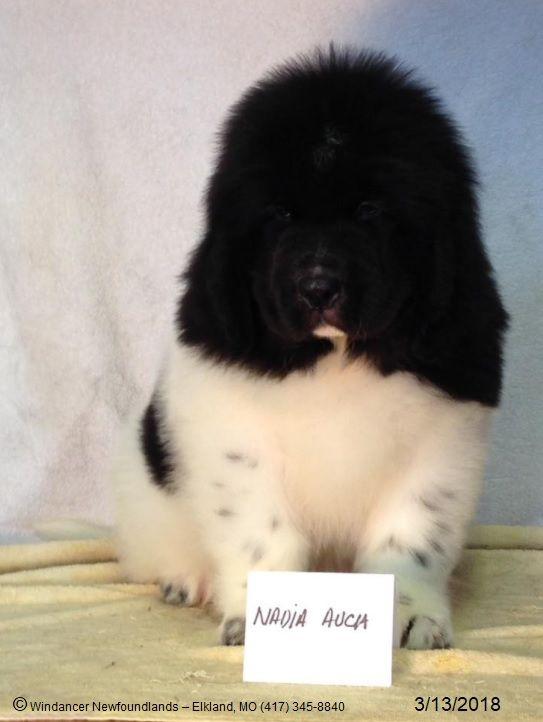 Windancer Newfoundlands Breeds Superior Landseer Newfoundland Puppies For Sale As Pets Or For Show Wind Dog Breeder Newfoundland Puppies Newfoundland Dog