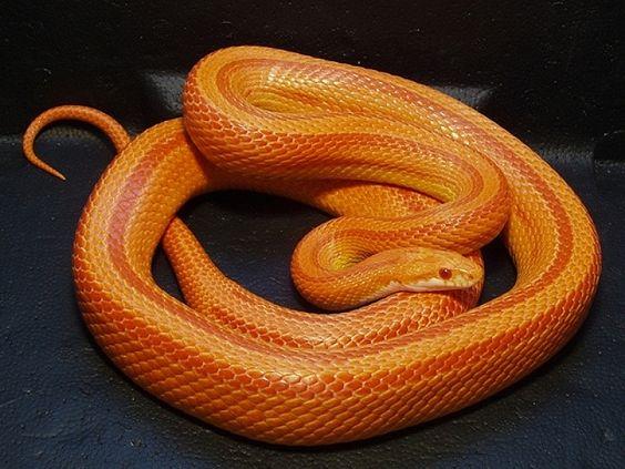 Amel Stripe Cornsnake Corn Snake Pet Snake Snake