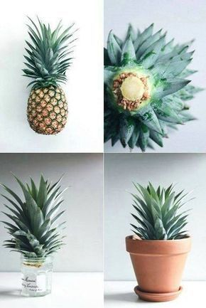 Growing a Pineapple in Water From a Pineapple Top