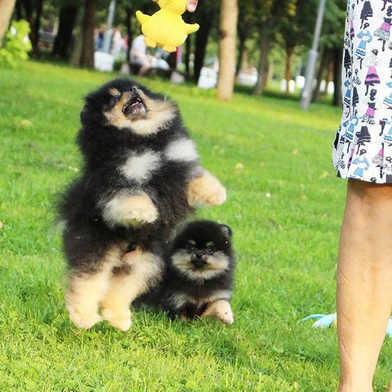 #teacuppom #teacuppomeranian #teacupdog #teacuplover #teacuppuppy #pom #poms #pomeranian #love #puppiesofinstagram #puppies #puppiesforsale #dogforsale #4sale #dog #boutique #happy #vip #forlove #candylinekennel #minipom #boo #micropomeranian #available #top #exclusive #dream #biglove #pompom #blacktanpom