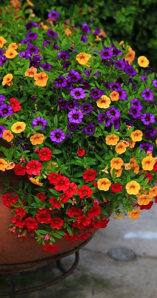 Contenedores de flores flores de verano and petunias on - Flores de verano ...