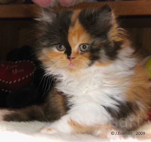 Doll Face Persian Cat Anddd It S A Long Haired Calico I Want Persian Cat Doll Face Persian Kittens Calico Kitten
