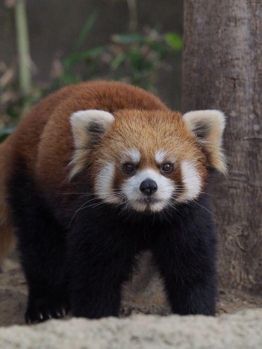 神戸でレモン レッサーパンダとkool レッサーパンダ 動物 可愛い 動物