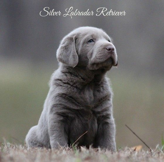 Silver Labrador Retrievers For Sale Silver Lab Puppies Charcoal