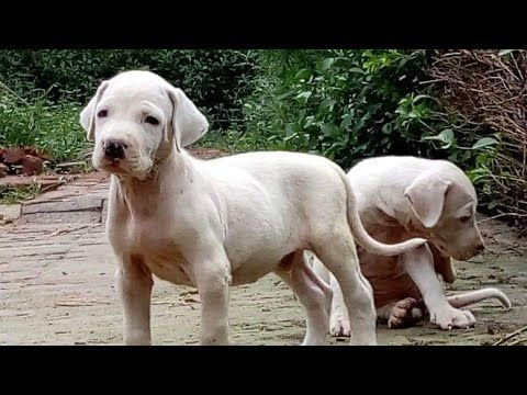 May 2019 White Pakistani Bully Puppies For Sale In India With