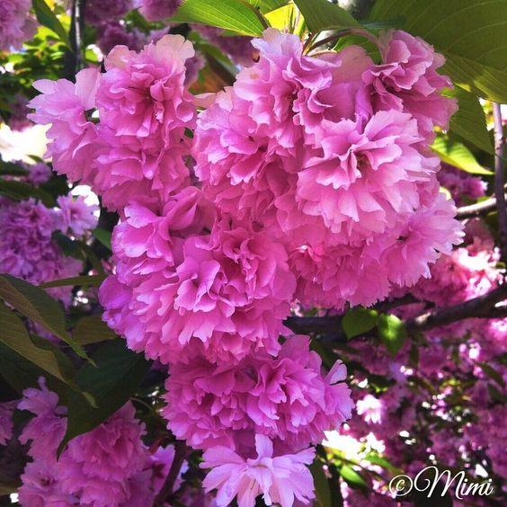 #flowerstalking #flowersofinstagram #flowers #garden #natureshot #naturelovers #natureseekers #lovely #garden #blossom #bloom #spring #pink #scent #perfume #delicate #nature #picoftheday #flowerstagram #flowerporn #naturelover #nature_shooters #vscoflower #floralia #rsa_macro