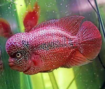 Jenis Jenis Ikan Louhan Serta Sejarahnya Aquarium Air Tawar Ikan Ikan Akuarium