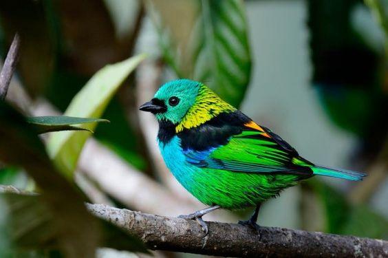 Saíra-sete-cores - Foto: Marcelo Krause
