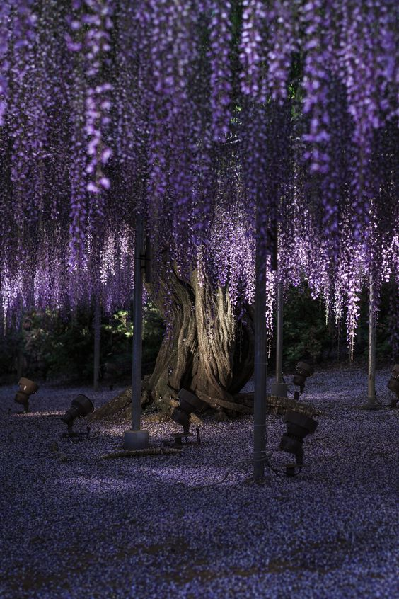 Wisteria Tree Age Years Food Drink Pinterest Wisteria - Beautiful wisteria plant japan 144 years old