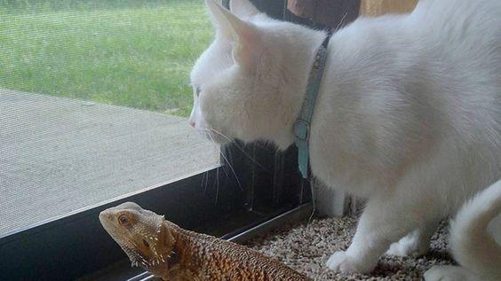 La maravillosa amistad entre un gato y un dragón barbudo - VeoVerde