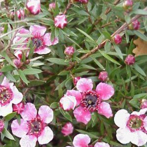 Leptospermum scoparium nombre popular tipolog a arbusto for Arbustos de hoja perenne resistentes al frio