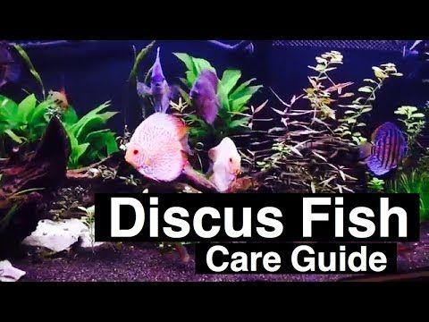Discus Fish Care Guide Diet Tank Mates Discus Fish Fish Care Discus Aquarium
