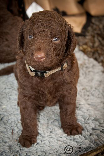 Facts About the Curly Coated Retriever | One of the oldest retriever canine breeds is that of the curly coated retriever. The curlies originated in Britain and were generally utilized as hunting dogs by English gamekeepers and poachers. Their speed, intelligence and strength made them the ideal breed to hunt down furry animals and fowl... | http://www.holisticpetcare.info/facts-about-the-curly-coated-retriever/
