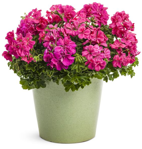 Gardeners have adored their geraniums for years, and Timeless™ Rose will not disappoint. This variety has a mounding and compact habit due to ivy traits woven in during the breeding process...