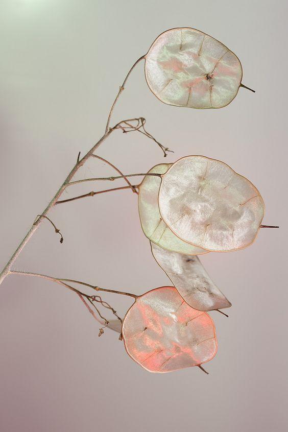 lunaria annua seed pods / aka Honesty flowers, money plant, etc. - nature photography