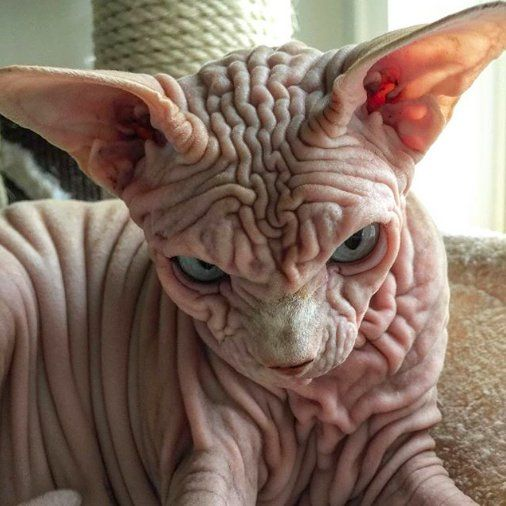 Grumpiest Looking Cat Is Actually Super Sweet Cute Hairless Cat Scary Cat Rare Cats