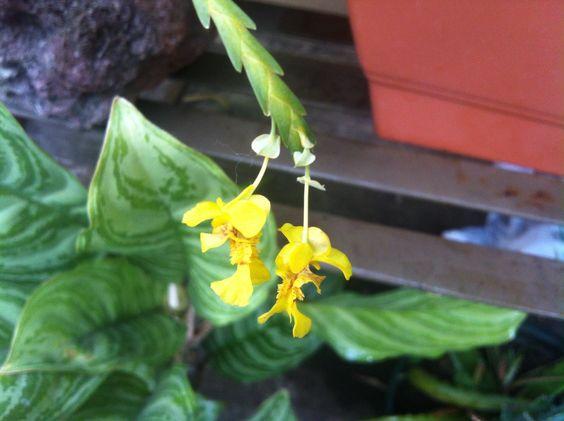 Orquídea lluvia de oro
