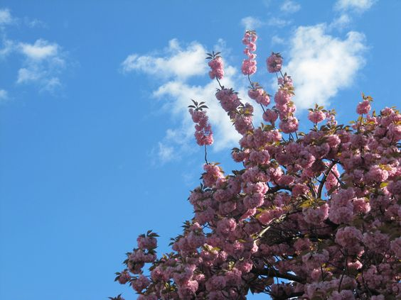 There is nothing prettier than a flowering cherry in the sunshine.