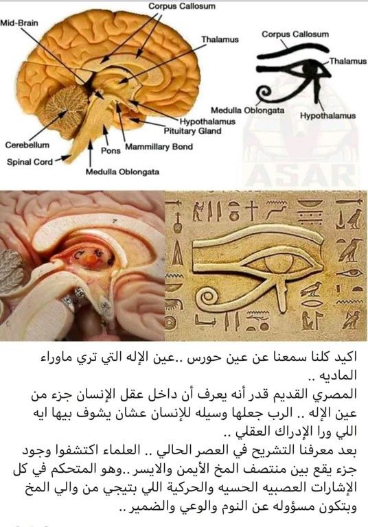 Pin By Art Club On The Intelligence Of The Pharaohs Hypothalamus Gland Corpus Callosum Spinal Cord