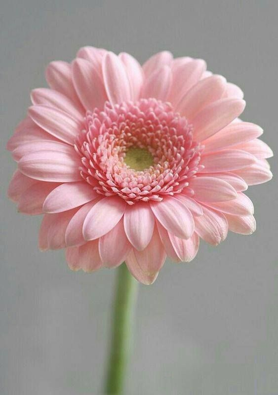 Pin By Becky Helfen On Flowers Beautiful Pink Flowers Flowers Pink Flowers